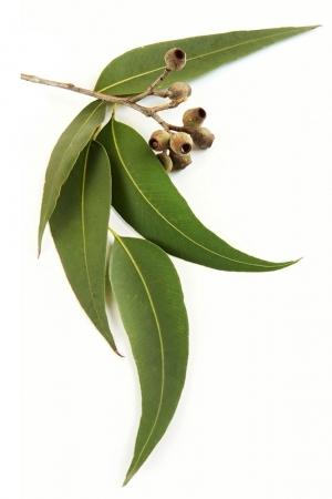 Эфирное масло эвкалипта | Eucalyptus radiata doTERRA ESSENTIAL OIL - 15 мл.