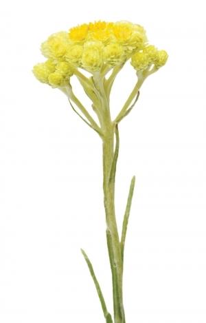 Эфирное масло бессмертника | Helichrysum italicum doTERRA ESSENTIAL OIL - 5 мл.