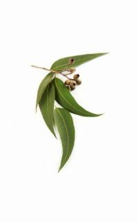 Эфирное масло эвкалипта doTERRA (пробник) | doTERRA  Eucalyptus essential oil sample