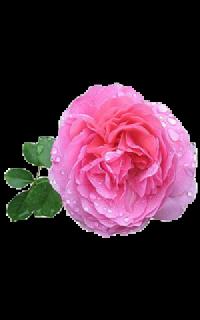 Эфирное масло Розы домасской doTERRA (пробник) | doTERRA Rose touch oil sample